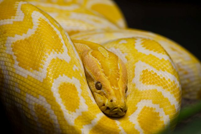 geltona gyvatė