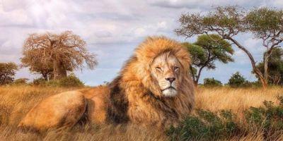 paveikslas liūtas